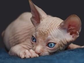 Интересно знать: кошки которые не линяют