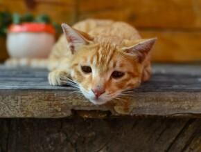 Панкреатит у кошки, как распознать и как лечить?