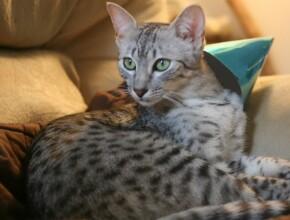 Экзотические кошки: египетские мау