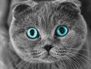Такие разные кошки: шотландские вислоухие