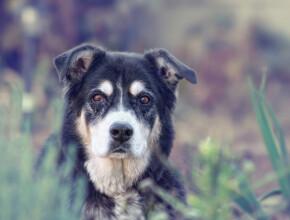 Что нужно знать о глаукоме у собак?