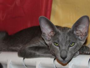 Что за кошки ориенталы?