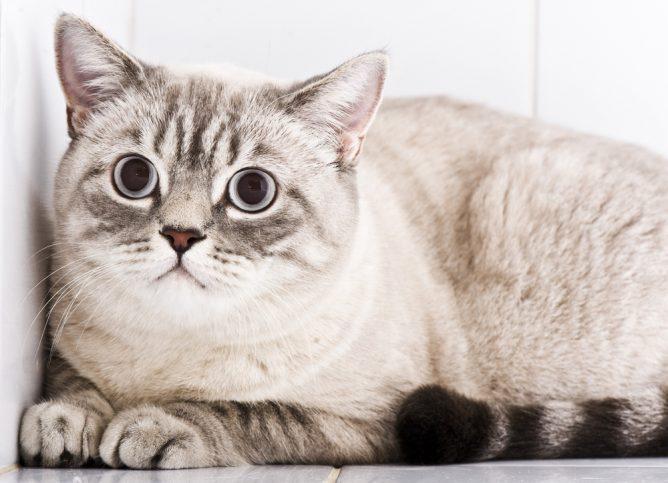 гиперестезия кошек