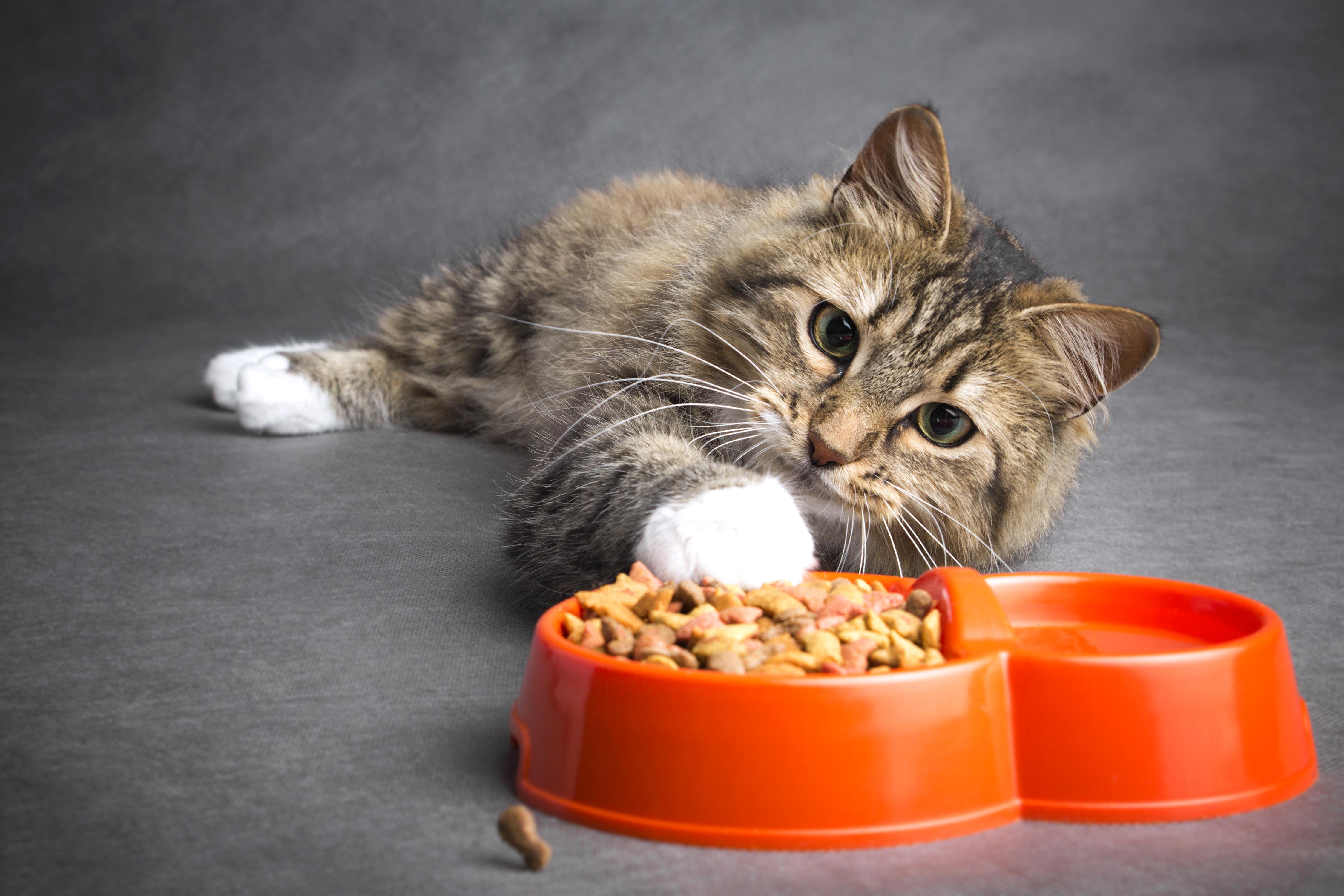 Кошка лежит рядом с кормом