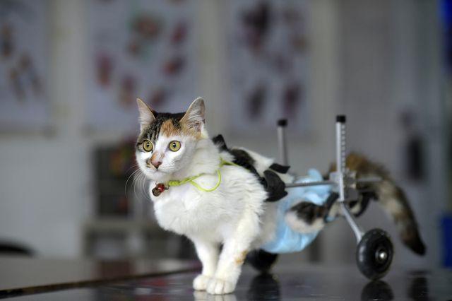 кошка на коляске