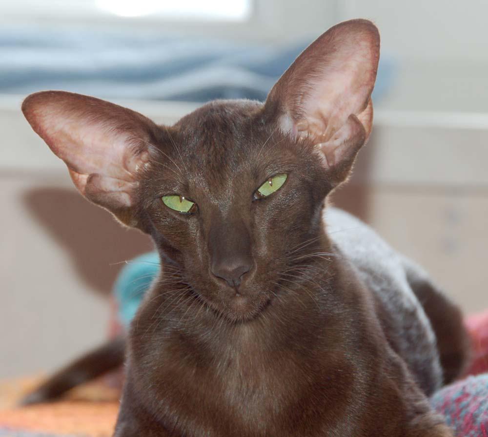 Кошка с большими ушами